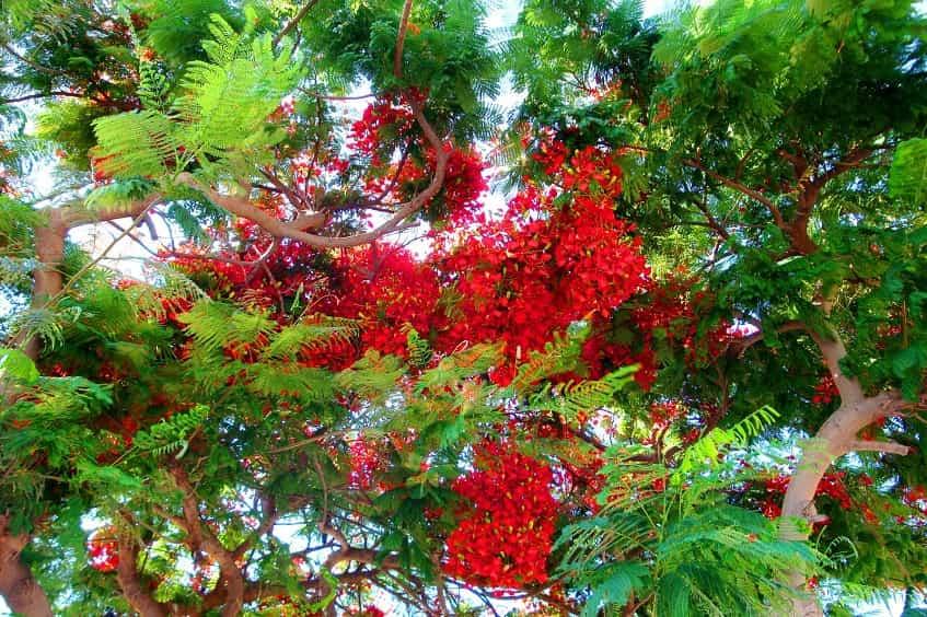 Красная акация в Итальянском саду - фото